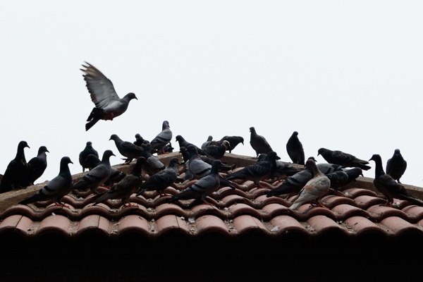 Keep Pigeons at Bay with These Simple Tips