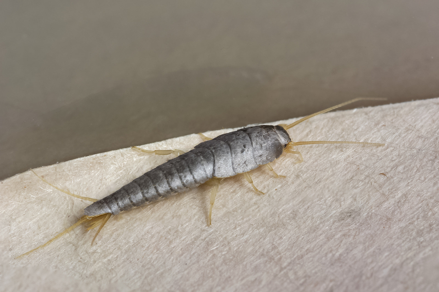 Use These Home Maintenance Tips to Eliminate Silverfish
