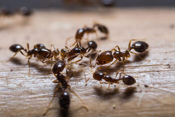 bigstock-Red-Imported-Fire-Ants-65565295sm
